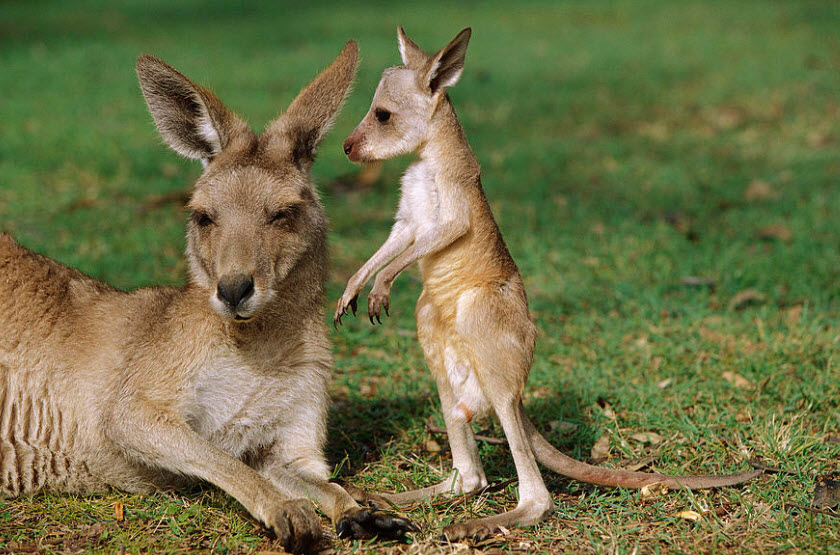 Red-Kangaroo